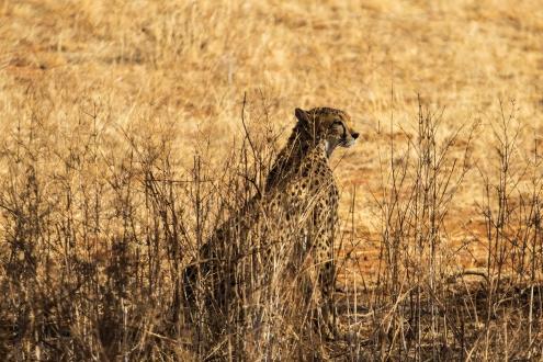 Spot the cheetah!