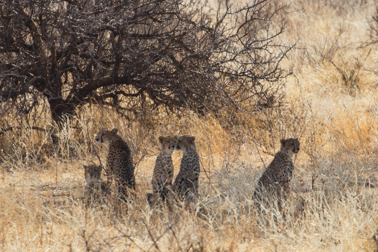 A family of cheetah resting in the shade after a failed hunt